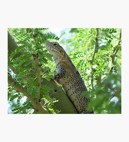 Sonoran Spiny-tail Iguana  ~ Juvenile Photographic Print