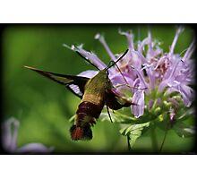 Hummingbird Moth Summer Photographic Print