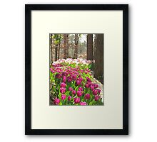 Tulip path Framed Print