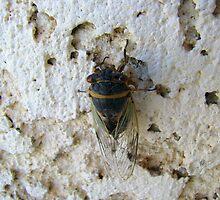 Cicada by Sherry Pundt