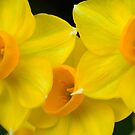And Dances with the Daffodils by Penelope Thomas