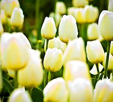 Tulips by Steve Lents