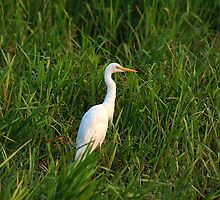 Intermediate Egret. by trevorb