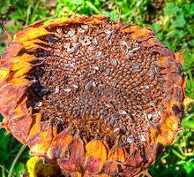 Sunflower by Steve Lents