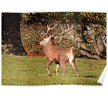 Red Deer Stag Poster