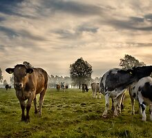 Cows In The Morning by Kathy Wright