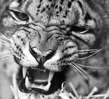 Snow Leopard by Lynne Morris