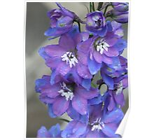 Two Toned Blue Larkspur In The Rain. Poster