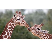 Pucker Up! (Giraffes) Photographic Print