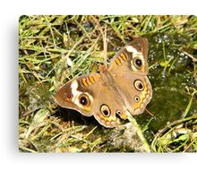 A Common Buckeye. Canvas Print