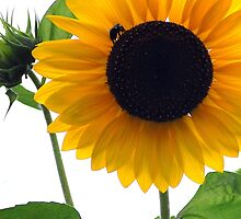 Sunflower and the Bee by Wendy King