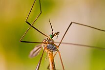 Crane Fly Tipula maxima by Ray Allen
