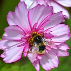Bumble Bee on Cosmos Flower by lynn carter