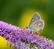 Silver-studded Blue Butterfly by Susie Peek