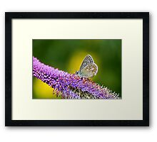 Silver-studded Blue Butterfly Framed Print
