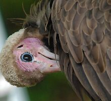 African Hooded Vulture by Alexa Pereira