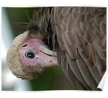 African Hooded Vulture Poster