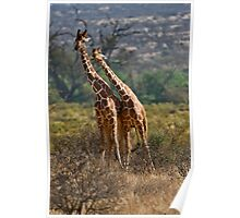 Necking-Giraffes in Samburu Poster