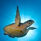 Sea Turtle by Carlos Villoch