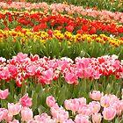 Field of Tulips by Lizzylocket
