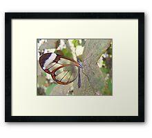 Glasswing Butterfly. Framed Print