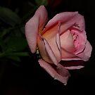 Pink rose by sallysphotos
