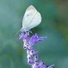 Faded Butterfly by Carrie Bonham