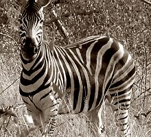 The Safari Series - 'Zebra' by Paige