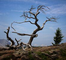 Burmis Tree Ancient Limber Pine by Vickie Emms