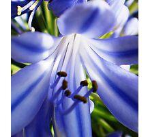 Agapantha florette - wild & beautiful Photographic Print