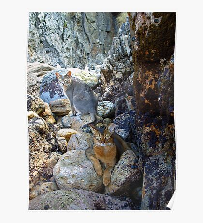 Cats on Rocks Two  Poster