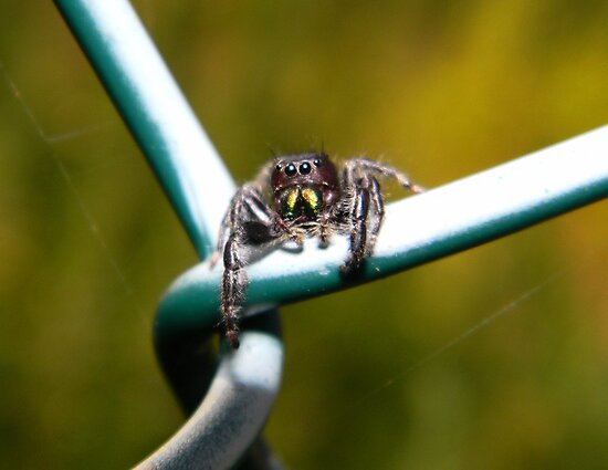 Curious little jumping spider. by William Brennan