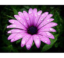 Wet & Beautiful Daisy Photographic Print