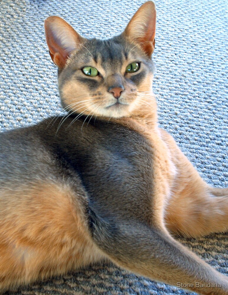 Generic Abyssinian Blue Male Cat  by V Stone