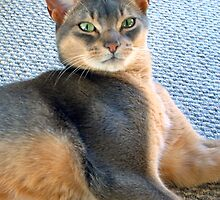 Generic Abyssinian Blue Male Cat  by Vicktorya Stone