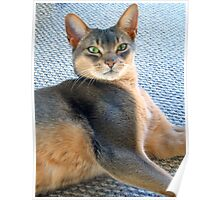 Generic Abyssinian Blue Male Cat  Poster