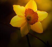 Daffodil Day by jesskato