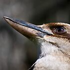 focused (kookaburra) by paul erwin