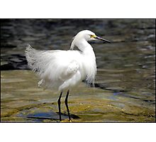 Elegance of the Snowy Egret: Photographic Print