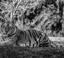 Tiger in Black and White by jjacobs2286