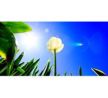 A Single Tulip Photographic Print