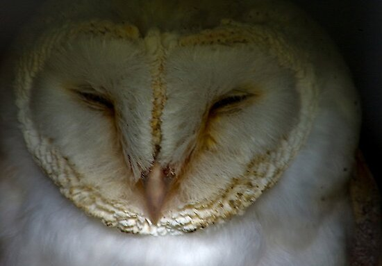 Barn Owl #1 by Trevor Kersley