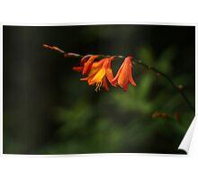 Scarlet Bloom Poster