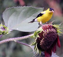 Male Yellow Finch Gathering Sunflower Seeds by kkphoto1