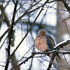 Morning Dove in Winter by Bill Spengler