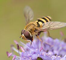 Syrphus ribesii Hoverfly by Jon Lees