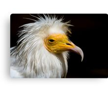 Egyptian Vulture - (Neophron percnopterus) Canvas Print