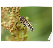 Hoverfly Poster