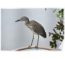 A Juvenile Yellow-Crowned Night Heron Poster