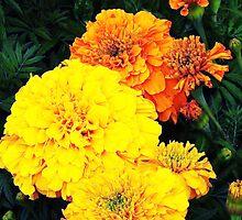 Marigold magic! by artfulvistas